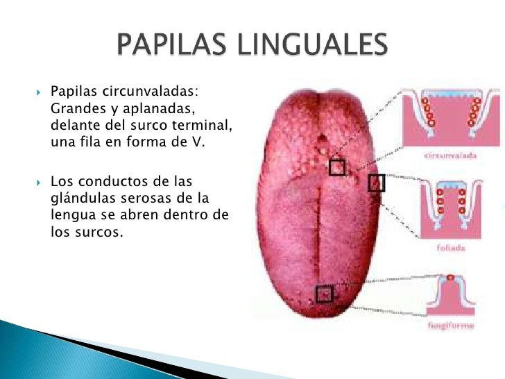 Anatomía (lengua)