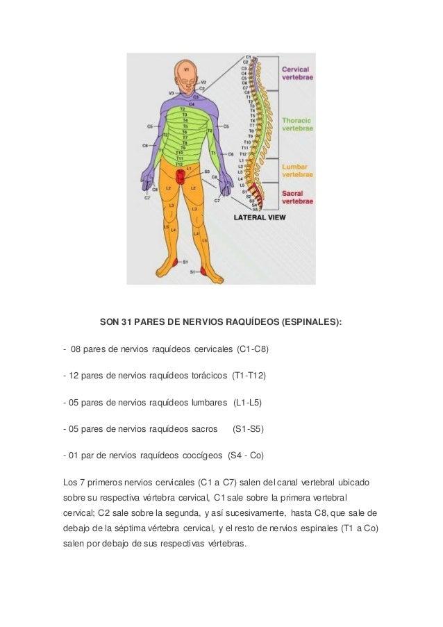 Anatomía macroscopica del sistema nervioso central