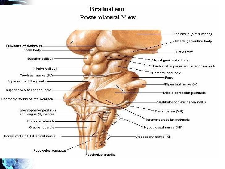 Anatomía macroscópica del tronco cerebral