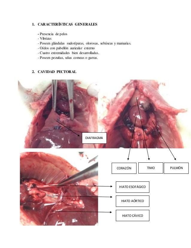 Anatomía mamíferos (ratón laboratorio)