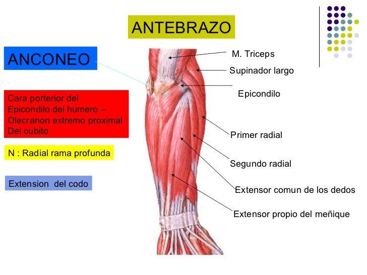 Anatomía miembro superior
