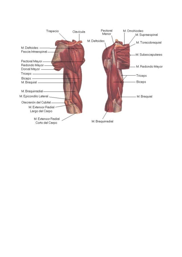 Anatomía muscular