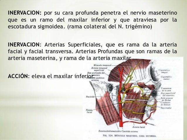Inicia en la apófisis pterigoides y termina en la porción interna delángulo del maxilar inferior.                         ...
