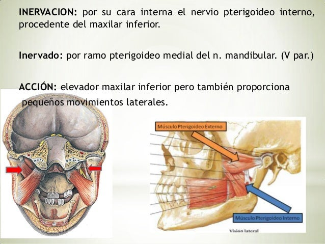Se extiende de la apófisis pterigoides al cuello del cóndilo delmaxilar inferior.Se halla dividido en 2 haces, uno superio...