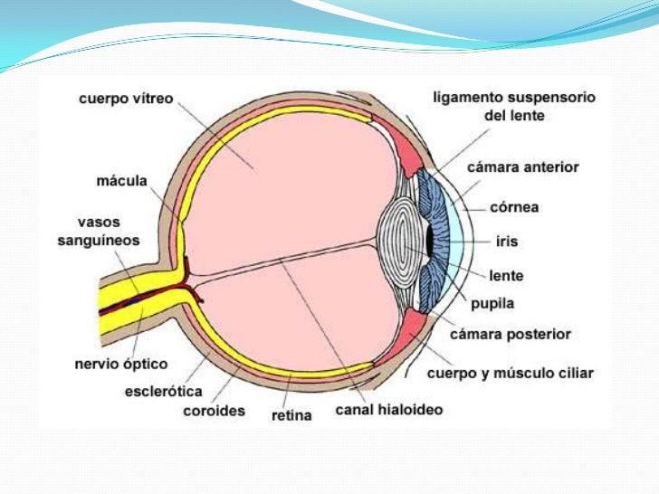 Anatomía ocular, exploración y semiología básica del ojo