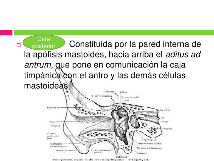 Anatomía oído