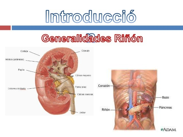 Anatomía Patológica: Riñón