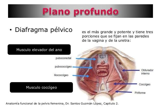 Anatomía pelvis vulva vagina útero trompas de falopio