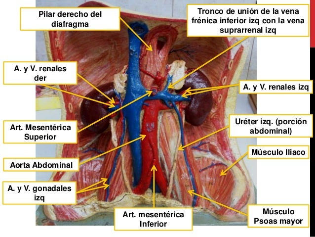 Anatomía (práctico de abdomen y visceras)