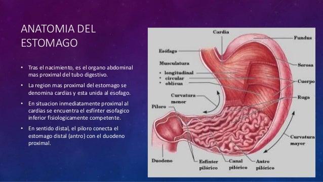 Anatomía quirúrgica de estomago y duodeno giusto