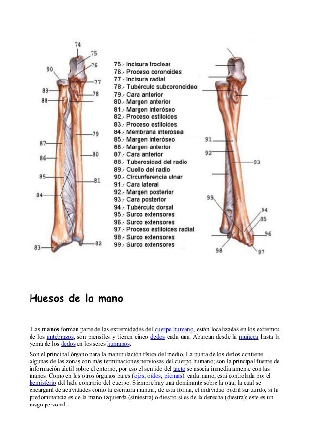 Fantástico Anatomía ósea Radial Elaboración - Anatomía de Las ...