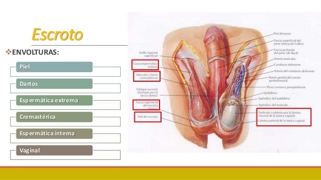 Anatomía testículo, pene, próstata
