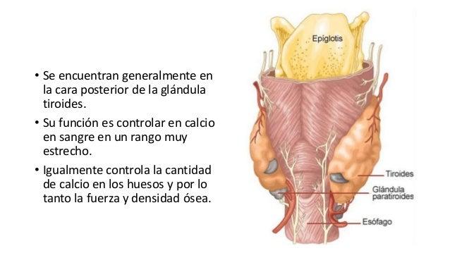 Anatomía tiroides y paratiroides
