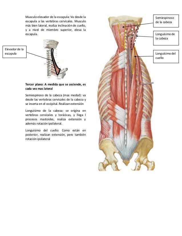 Anatomía topográfica del cuello