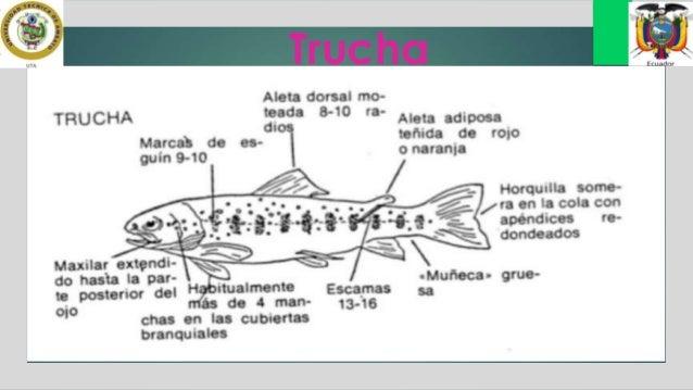 Anatomía Trucha y Tilapia