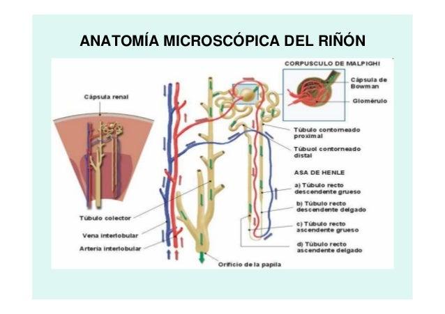 Anatomía urinario