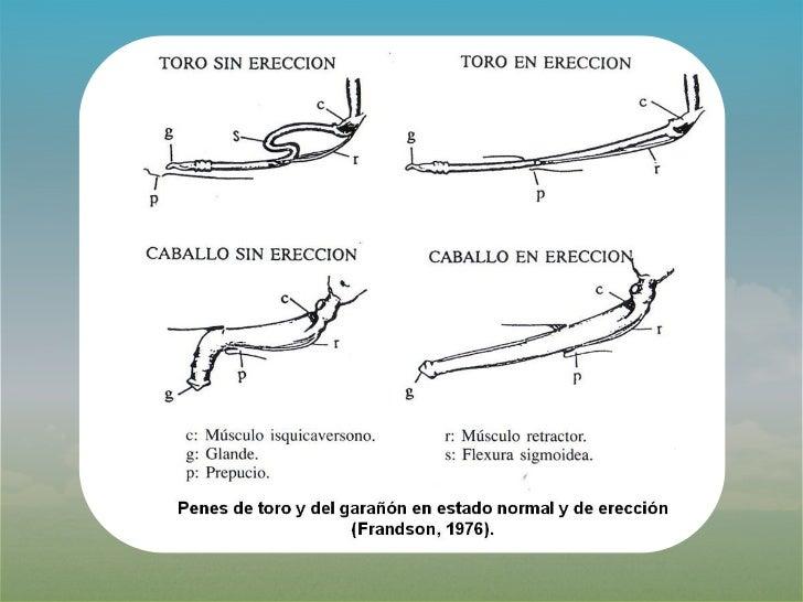 Increíble Anatomía Reproductiva Bovina Colección de Imágenes ...