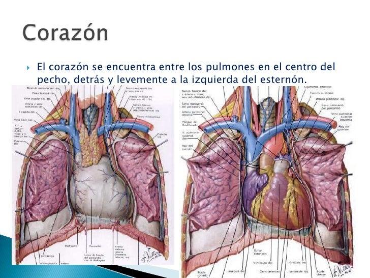 Anatomía y fisiología cardiacas