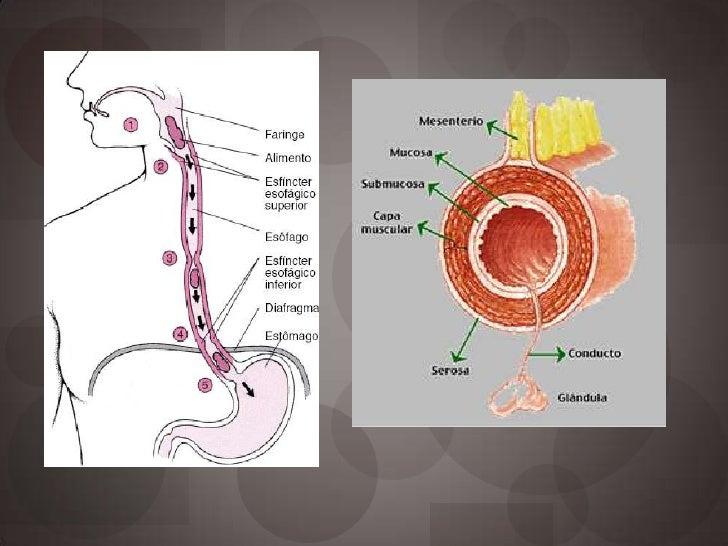 Anatomía y fisiología de esófago Slide 3
