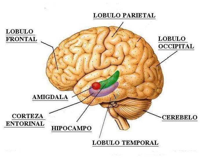 Anatomía y fisiología de la memoria y aprendizaje