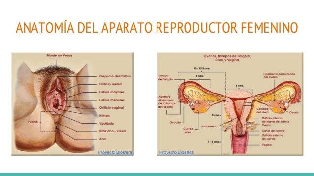 Anatomía y fisiología del aparato reproductor masculino y femenino.