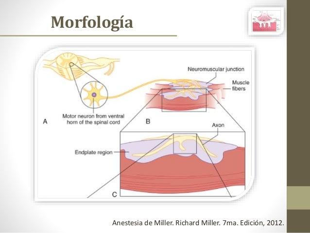 Anatomía y Fisiología de la Placa Neuromuscular Slide 3