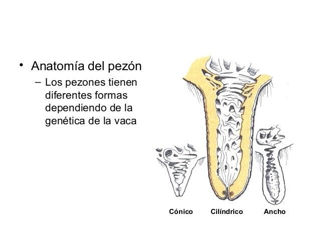 Anatomía y fisióloga de la ubre