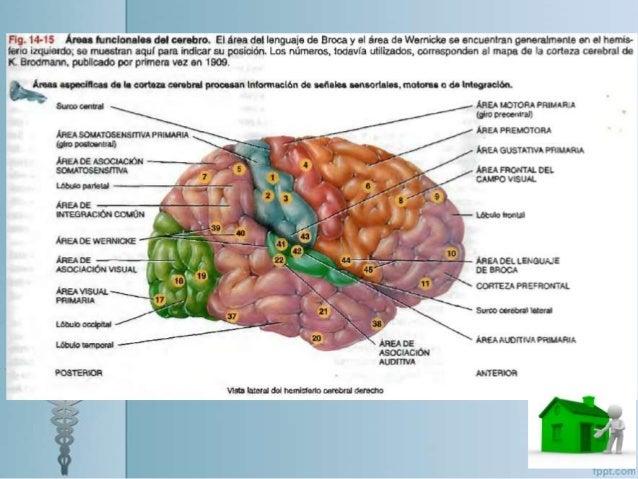 Anatomía y fisiología del cerebro