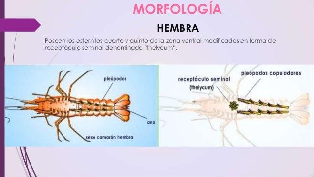 Anatomía y fisiología de los Camarones