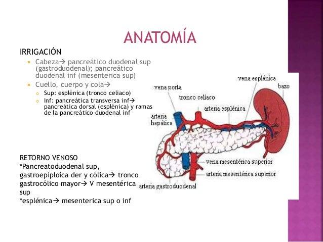 Anatomía y fisiología del páncreas endocrino tercera expo anatomia
