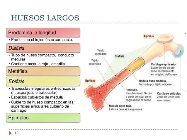 anatoma y fisiologa del sistema seo 12 638