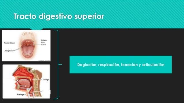 Anatomía y fisiología del tracto digestivo superior