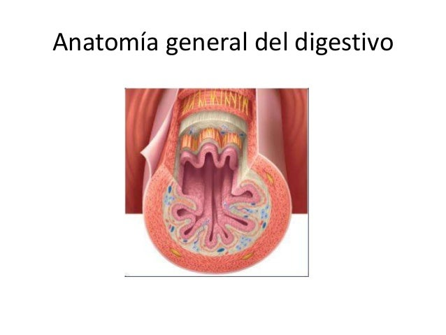 Anatomía y fisiología de nuestro sistema digestivo