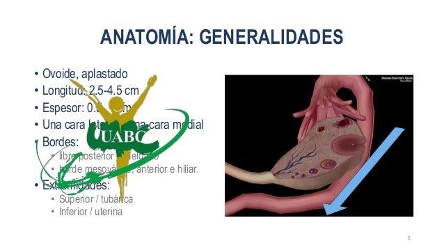 Anatomía y síntesis de ovario