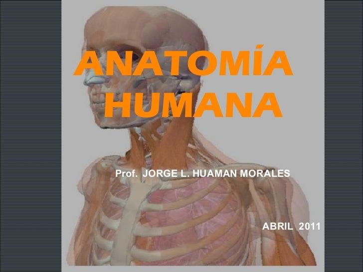ANATOMÍA  HUMANA Prof.   JORGE L. HUAMAN MORALES ABRIL  2011