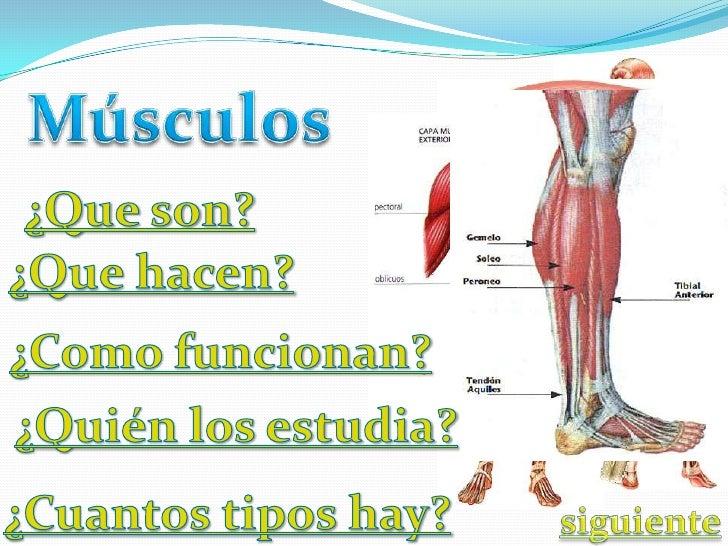 Las células musculares estriadas( músculos involuntarios), se ordenan en fibras que al juntarse forman un todo, se le llam...