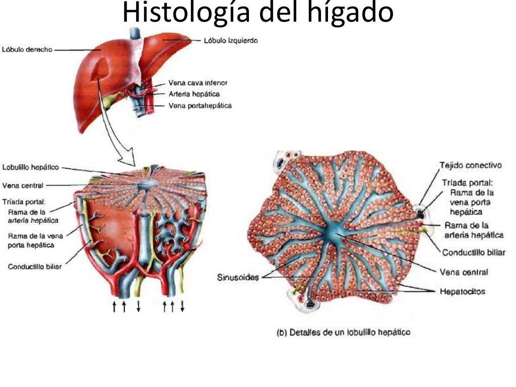 Páncreas, hígado, vesícula biliar y bazo: morfofisiología