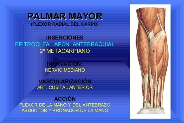 Anatomia. miembro superior miología y angiología