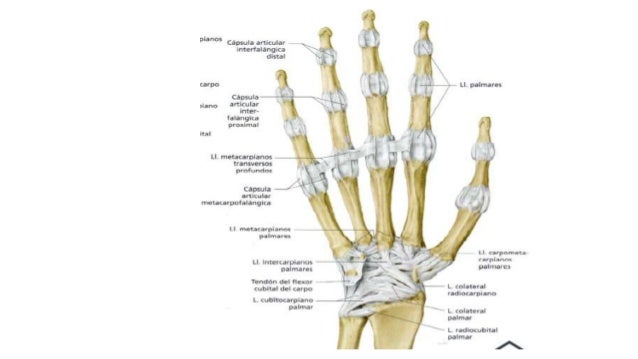 Anatomia De La Mano(huesos,ligamentos,articulaciones y musculos)