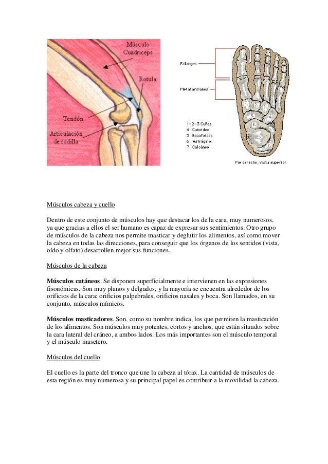 Famoso Músculos De La Rodilla Anatomía Molde - Imágenes de Anatomía ...