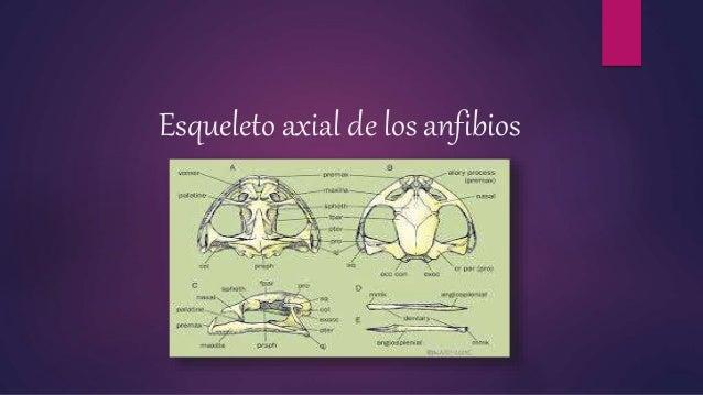 Esqueleto axial de los anfibios