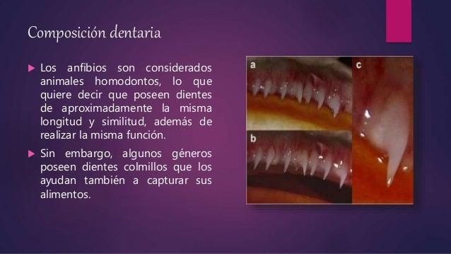 Composición dentaria  Los anfibios son considerados animales homodontos, lo que quiere decir que poseen dientes de aproxi...