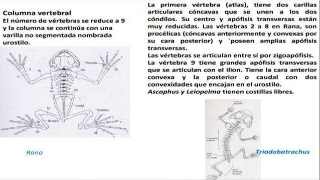 Esqueleto apendicular  La cintura escapular y pélvica junto con las extremidades asociadas constituyen el esqueleto apend...