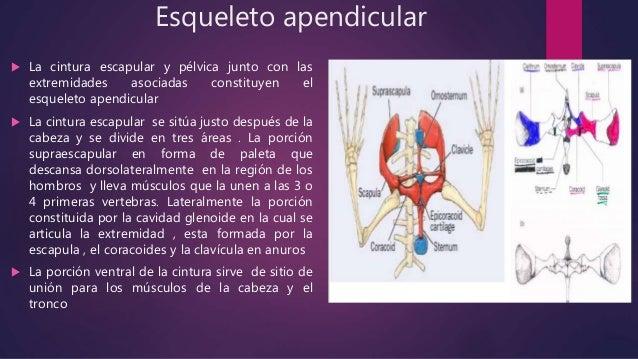 Cintura pélvica  Se sitúa al final del tronco y se articula en la vertebra sacra  Esta compuesta por : el ilion , el isq...