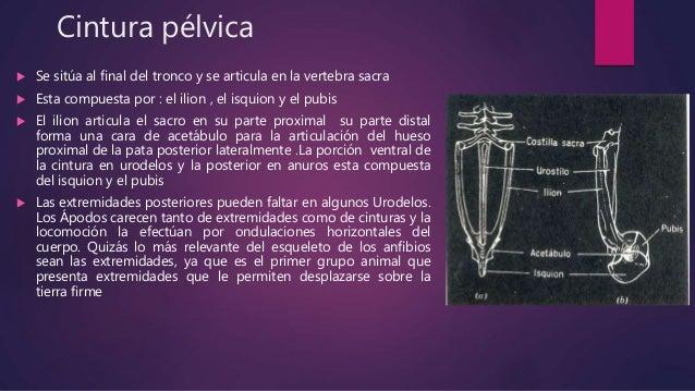  Cada extremidad consta básicamente de cinco elementos:  Propodio: humero ,asociado con el radio,la ulna,femur en la tra...