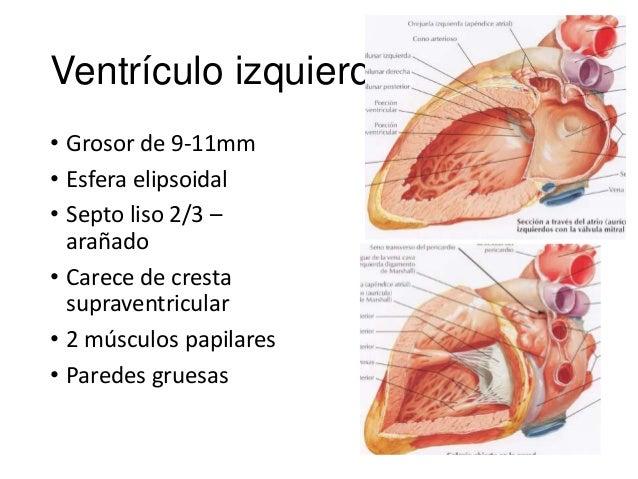 anatomia clinica del corazon