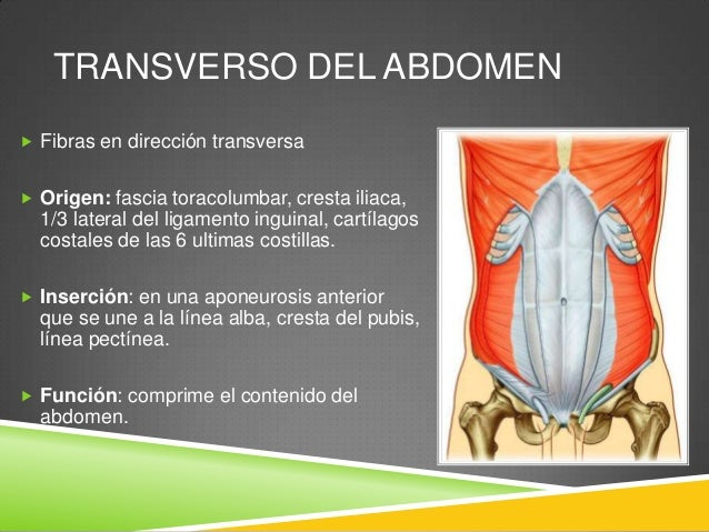 FASCIA TRANSVERSALIS  Capa continua que recubre la cavidad abdominal y continua en la cavidad pélvica  Cruza la línea me...