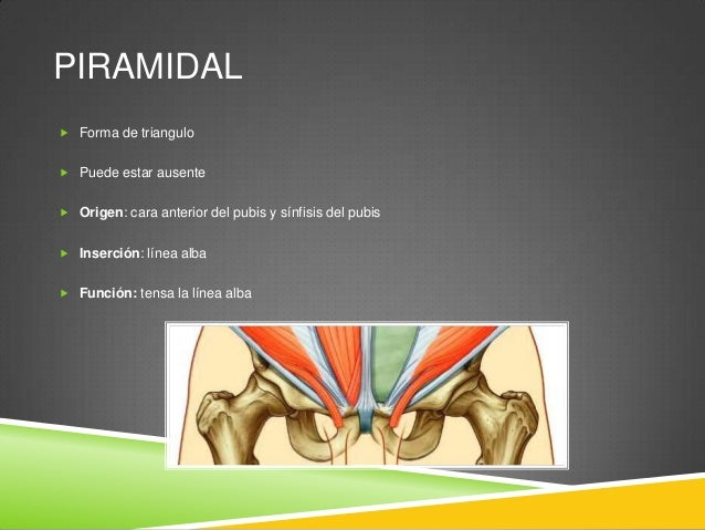VAINA DE LOS RECTOS  Formada por una capa única de aponeurosis de los músculos oblicuo interno, externo y el transverso d...