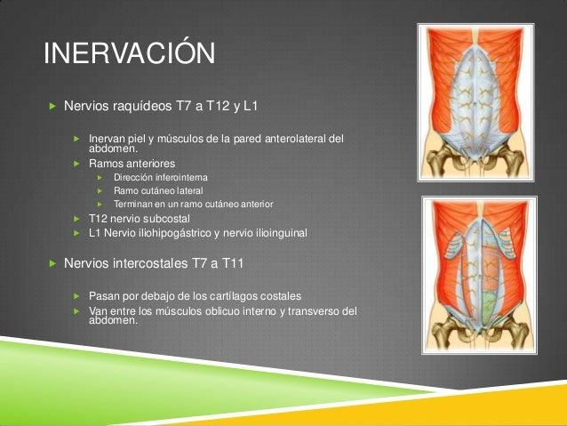 INERVACIÓN  Inervación de la piel:  T7 a T9  Piel desde el ombligo a la apófisis xifoides  T10  Piel que rodea el omb...