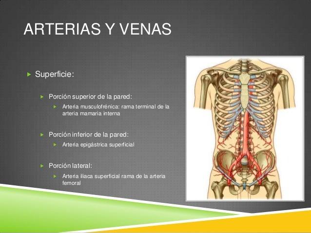 ARTERIAS Y VENAS  Profundo:  Porción superior de la pared:  Arteria epigástrica superficial rama terminal de la arteria...